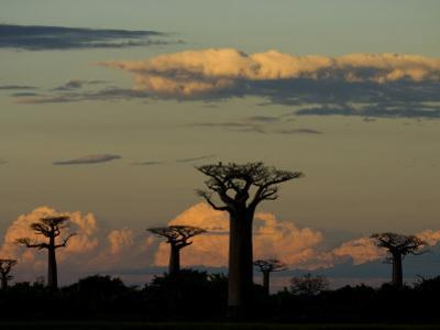 Baobab Trees in Baobabs Avenue, Near Morondava, West Madagascar