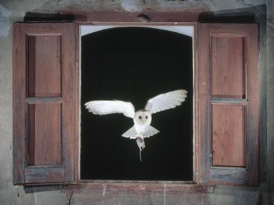 Barn Owl Flying into Building Through Window Carrying Mouse Prey, Girona, Spain