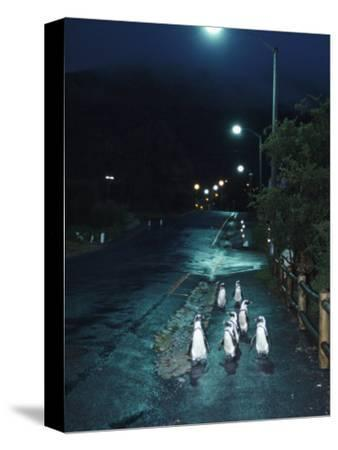 Black Footed Jackass Penguins Walking Along Road at Night, Boulders, South Africa