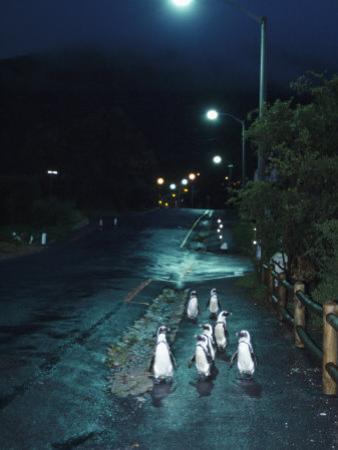 Black Footed Jackass Penguins Walking Along Road at Night, Boulders, South Africa