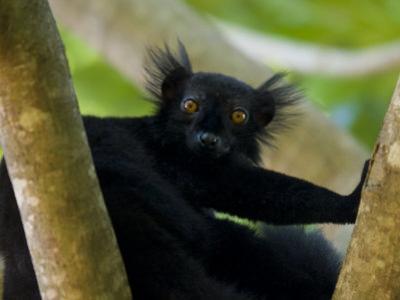 Black Lemur Male, Nosy Komba, North Madagascar, Iucn Vulnerable