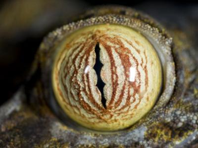 Close Up of Eye of Leaf Tailed Gecko Eye Detail, Nosy Mangabe, Northeast Madagascar