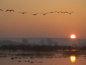 Common Cranes Flying in Formation at Sunrise, Hornborgasjon Lake, Sweden by Inaki Relanzon