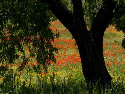 Common Poppies Flowering, Huesca Province, Aragon Region, Spain