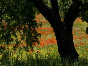 Common Poppies Flowering, Huesca Province, Aragon Region, Spain by Inaki Relanzon