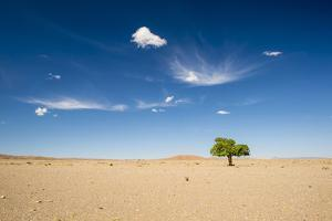 Elm Tree (Ulmus) in Gobi Desert, South Mongolia by Inaki Relanzon