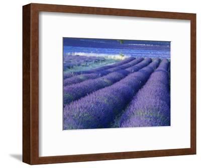Field of Lavander Flowers Ready for Harvest, Sault, Provence, France, June 2004
