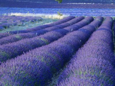 Field of Lavander Flowers Ready for Harvest, Sault, Provence, France, June 2004