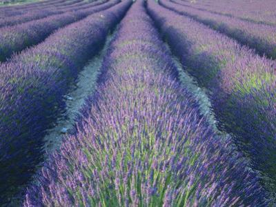 Fields of Lavander Flowers Ready for Harvest, Sault, Provence, France, June 2004