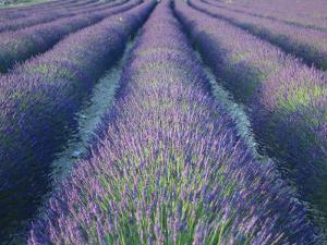 Fields of Lavander Flowers Ready for Harvest, Sault, Provence, France, June 2004 by Inaki Relanzon