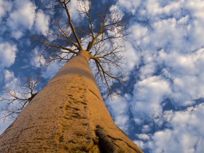 Looking Up at Baobab on Baobabs Avenue, Morondava, West Madagascar