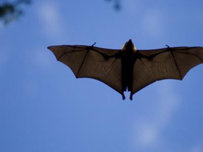 Madagascar Flying Fox Fruit Bat in Flight, Berenty Private Reserve, South Madagascar