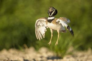 Male Little Bustard (Tetrax Tetrax) Displaying, Catalonia, Spain, May by Inaki Relanzon