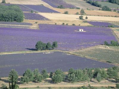 Mosaic of Fields of Lavander Flowers Ready for Harvest, Sault, Provence, France, June 2004