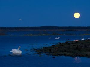 Mute Swan before Sunrise with Full Moon, Hornborgasjon Lake, Sweden by Inaki Relanzon