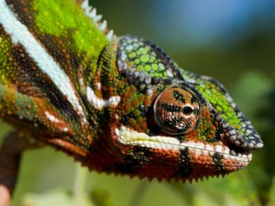 Panther Chameleon Showing Colour Change, Sambava, North-East Madagascar