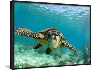 Sea Turtle, Swimming Underwater, Nosy Be, North Madagascar by Inaki Relanzon