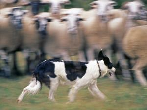 Sheepdog Rounding Up Domestic Sheep Bergueda, Spain, August 2004 by Inaki Relanzon