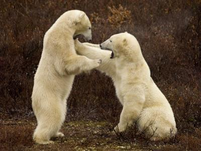 Two Polar Bears Play Fighting, Churchill, Hudson Bay, Canada