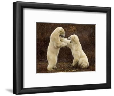 Two Polar Bears Play Fighting, Churchill, Hudson Bay, Canada