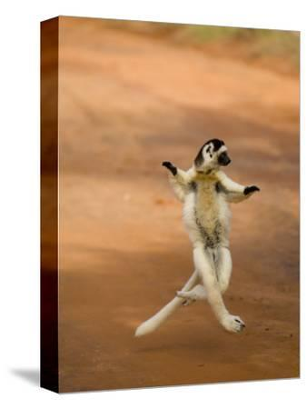 Verreaux's Sifaka 'Dancing', Berenty Private Reserve, South Madagascar