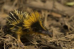 Yellow Streaked Tenrec (Hemicentetes Semispinosum) Madagascar by Inaki Relanzon