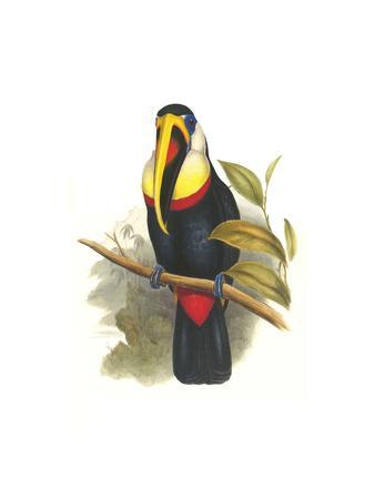 Inca or White Throated Toucan-John Gould-Art Print