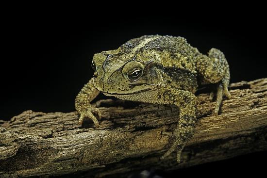 Incilius Valliceps (Gulf Coast Toad)-Paul Starosta-Photographic Print