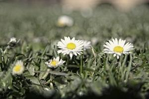 Daisies In The Sun by Incredi
