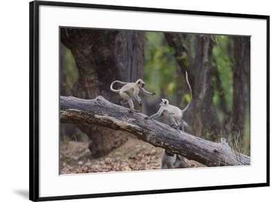India. Grey langur, Hanuman langur at Bandhavgarh Tiger Reserve-Ralph H. Bendjebar-Framed Premium Photographic Print