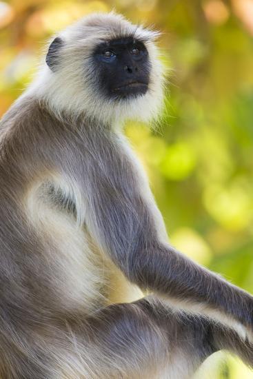India. Grey langur, Hanuman langur at Bandhavgarh Tiger Reserve-Ralph H^ Bendjebar-Premium Photographic Print