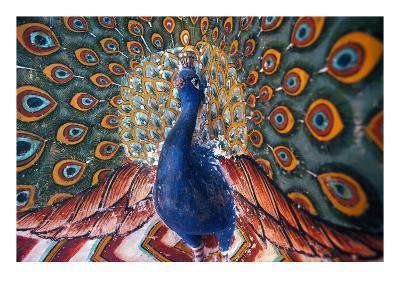 India: Peacock--Giclee Print