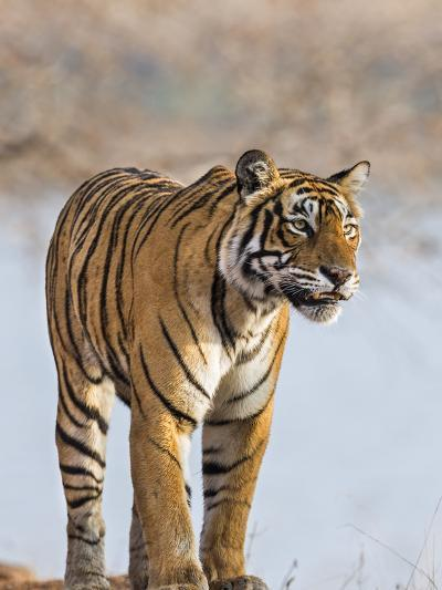 India, Rajasthan, Ranthambhore. a Female Bengal Tiger Stares Intently after Calling Her Cubs.-Nigel Pavitt-Photographic Print