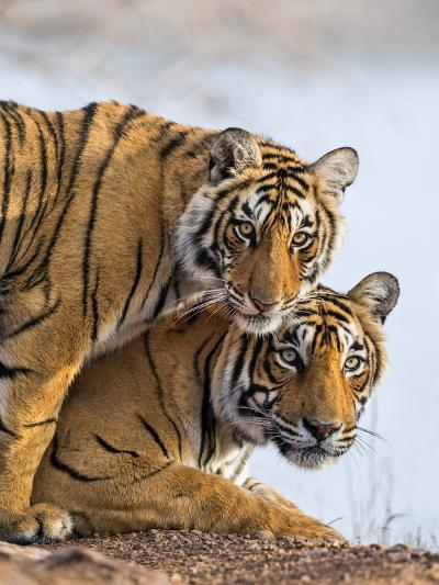 India Rajasthan, Ranthambhore. a Female Bengal Tiger with One of Her One-Year-Old Cubs.-Nigel Pavitt-Photographic Print