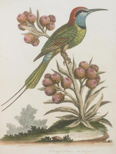 Indian Bee-eater--Giclee Print