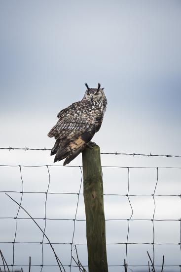 Indian Eagle Owl (Bubo Bengalensis), Herefordshire, England, United Kingdom-Janette Hill-Photographic Print