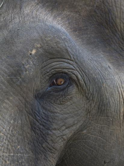 Indian Elephant Close Up of Eye, Controlled Conditions, Bandhavgarh Np, Madhya Pradesh, India-T^j^ Rich-Photographic Print
