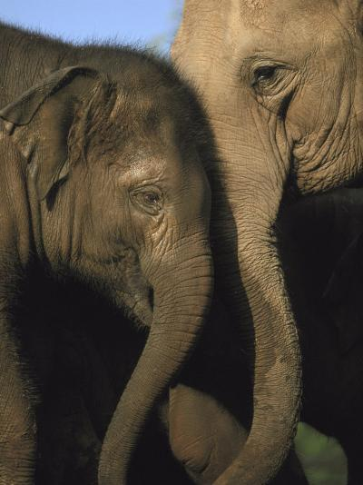 Indian Elephant, Cow & Youngster-Mark Hamblin-Photographic Print