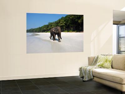 Indian Elephant (Elephas Maximus Indicus) Striding Along White Sand of Radhanagar Beach-Astrid Schweigert-Giant Art Print