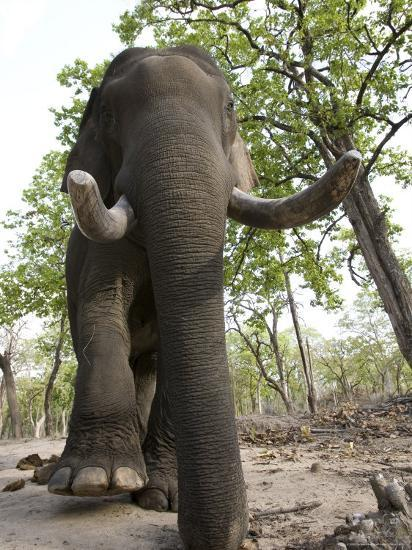 Indian Elephant (Elephus Maximus), Bandhavgarh National Park, Madhya Pradesh State, India, Asia-Thorsten Milse-Photographic Print