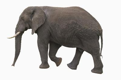 Indian Elephant Walking-DLILLC-Photographic Print