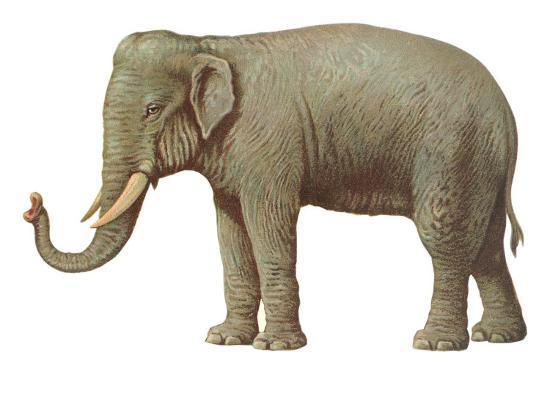 Indian Elephant--Art Print