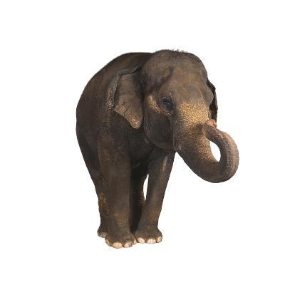 Indian Elephant-DLILLC-Photographic Print
