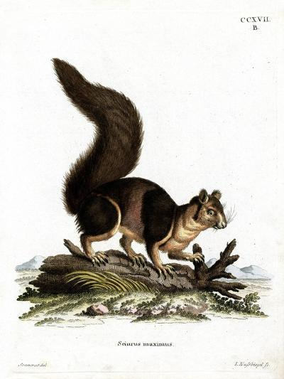 Indian Giant Squirrel--Giclee Print
