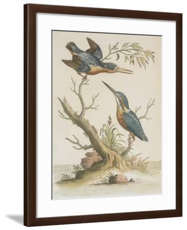 Indian Kingfishers--Framed Giclee Print