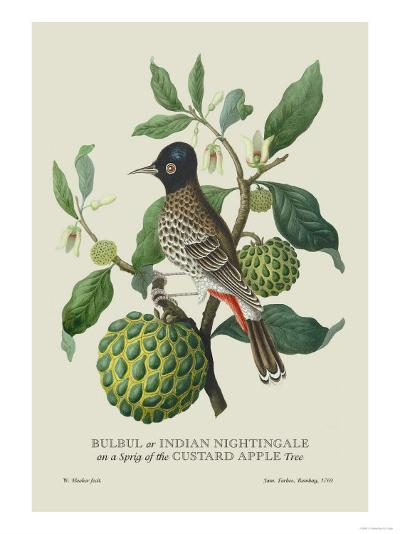 Indian Nightingale-J^ Forbes-Art Print