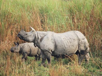 Indian One-Horned Rhinoceros (Rhino), Rhinoceros Unicornis, with Calf, Assam, India-Ann & Steve Toon-Photographic Print