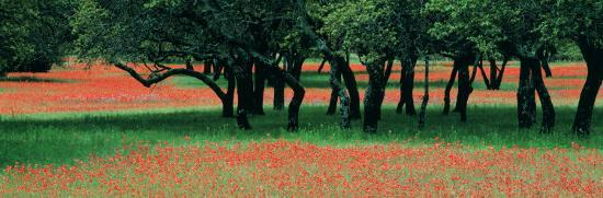 Indian Paintbrushes and Scattered Oaks, Texas Hill Co, Texas, USA--Photographic Print