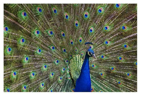 Indian Peafowl male with tail fanned out in courtship display, native to Asia-Tim Fitzharris-Art Print
