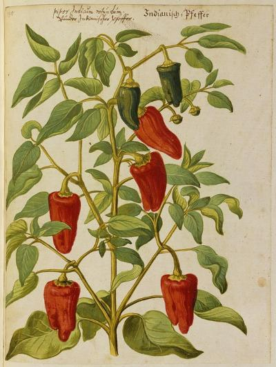 Indian Pepper. from 'Camerarius Florilegium'-Joachim Camerarius-Premium Giclee Print